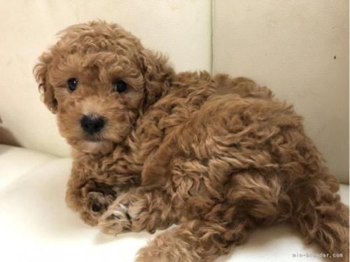 トイプードルの子犬(ID:1248111014)の2枚目の写真/更新日:2018-07-24