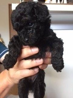 トイプードルの子犬(ID:1248111015)の2枚目の写真/更新日:2018-07-24