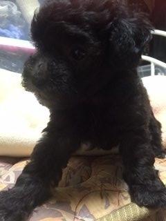 トイプードルの子犬(ID:1248111015)の3枚目の写真/更新日:2018-07-24