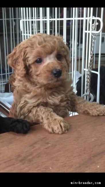 トイプードルの子犬(ID:1248111020)の1枚目の写真/更新日:2019-03-14