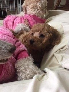 トイプードルの子犬(ID:1248111020)の3枚目の写真/更新日:2019-03-14
