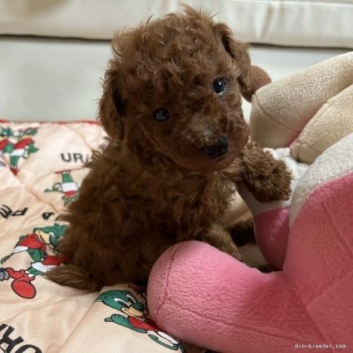 トイプードルの子犬(ID:1248111025)の1枚目の写真/更新日:2018-07-02