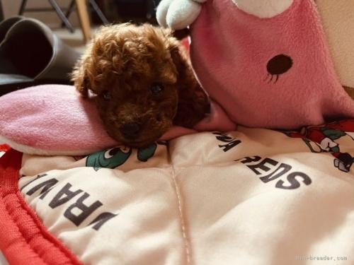 トイプードルの子犬(ID:1248111025)の2枚目の写真/更新日:2018-07-02