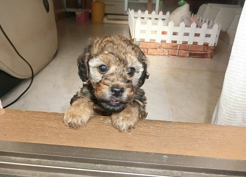 トイプードルの子犬(ID:1248111026)の1枚目の写真/更新日:2018-11-30