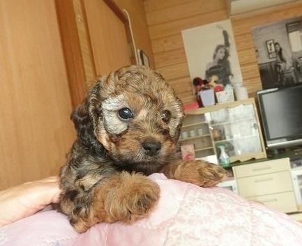トイプードルの子犬(ID:1248111026)の2枚目の写真/更新日:2018-11-30