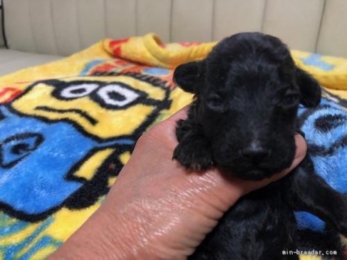 トイプードルの子犬(ID:1248111028)の1枚目の写真/更新日:2020-05-19