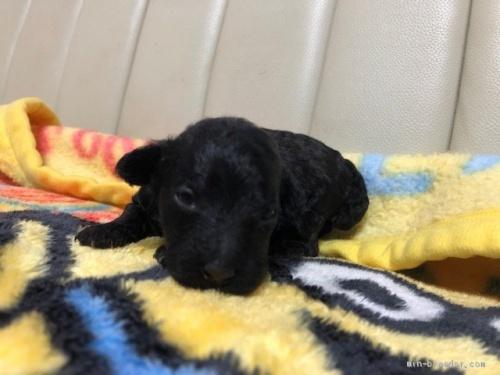 トイプードルの子犬(ID:1248111028)の2枚目の写真/更新日:2020-05-19