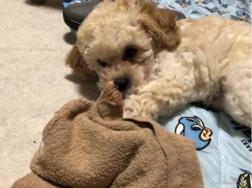 トイプードルの子犬(ID:1248111030)の2枚目の写真/更新日:2018-06-25