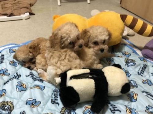 トイプードルの子犬(ID:1248111030)の4枚目の写真/更新日:2018-06-25