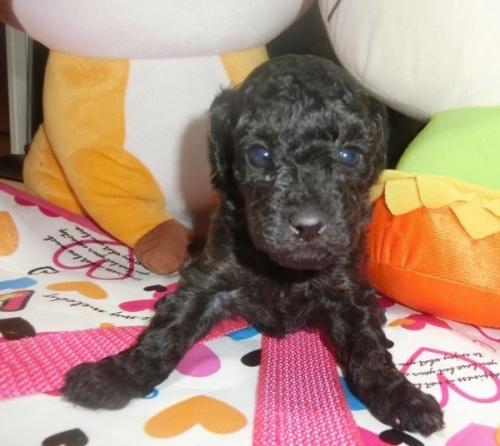 トイプードルの子犬(ID:1248111031)の1枚目の写真/更新日:2019-11-18