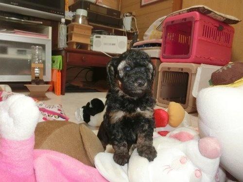 トイプードルの子犬(ID:1248111036)の1枚目の写真/更新日:2019-11-16