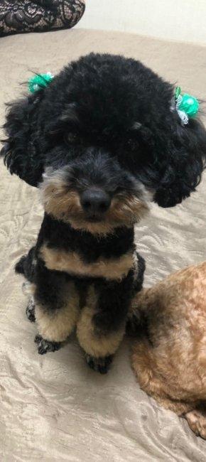 トイプードルの子犬(ID:1248111036)の2枚目の写真/更新日:2019-10-28