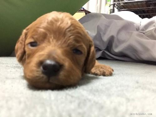 トイプードルの子犬(ID:1248111039)の1枚目の写真/更新日:2020-06-03