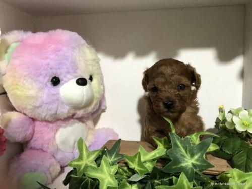 トイプードルの子犬(ID:1248111042)の1枚目の写真/更新日:2020-11-17
