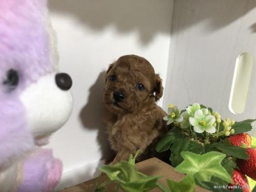 トイプードルの子犬(ID:1248111042)の2枚目の写真/更新日:2020-11-17