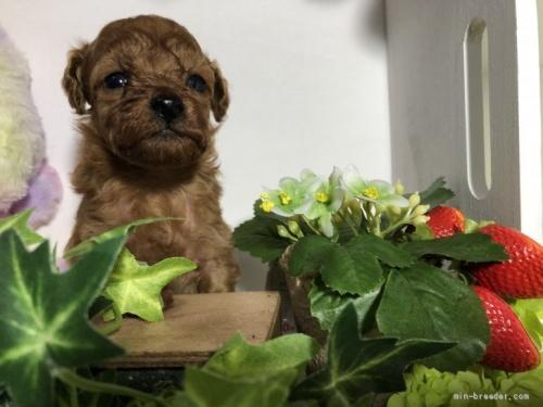 トイプードルの子犬(ID:1248111042)の3枚目の写真/更新日:2020-11-17