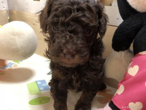 トイプードルの子犬(ID:1248111045)の1枚目の写真/更新日:2017-01-10