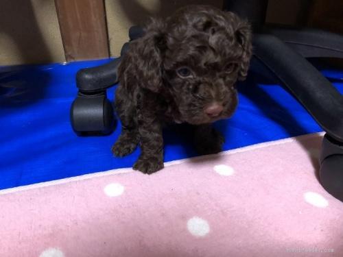 トイプードルの子犬(ID:1248111045)の2枚目の写真/更新日:2017-01-10