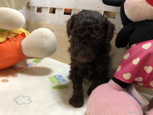 トイプードルの子犬(ID:1248111045)の3枚目の写真/更新日:2017-01-10