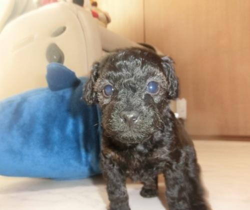 トイプードルの子犬(ID:1248111047)の2枚目の写真/更新日:2017-01-17