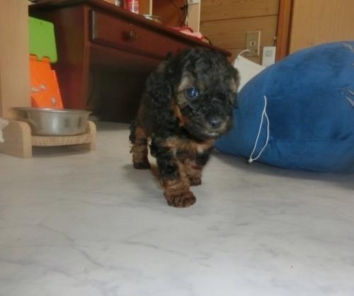 トイプードルの子犬(ID:1248111048)の1枚目の写真/更新日:2017-01-17
