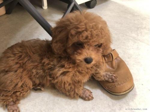 トイプードルの子犬(ID:1248111050)の3枚目の写真/更新日:2021-08-27