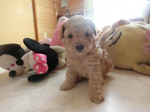 トイプードルの子犬(ID:1248111051)の1枚目の写真/更新日:2017-02-20