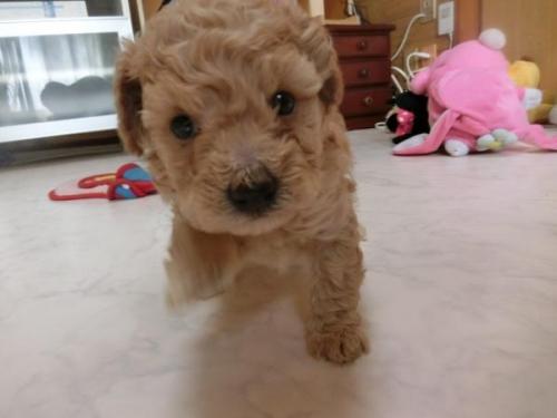 トイプードルの子犬(ID:1248111051)の2枚目の写真/更新日:2017-02-20