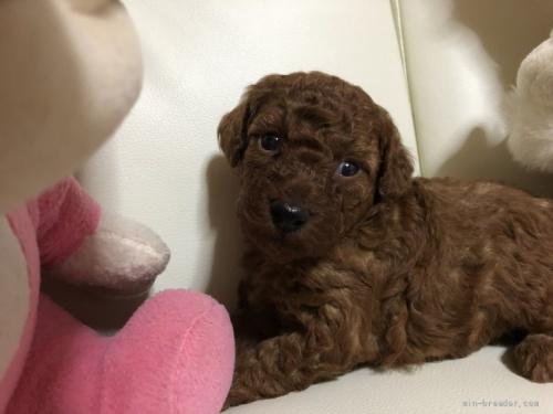 トイプードルの子犬(ID:1248111053)の1枚目の写真/更新日:2021-08-16