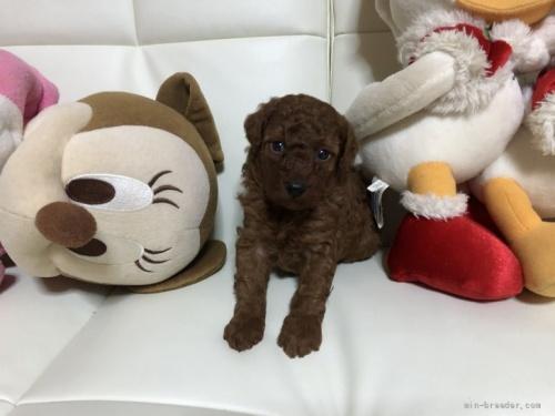 トイプードルの子犬(ID:1248111053)の2枚目の写真/更新日:2017-06-05