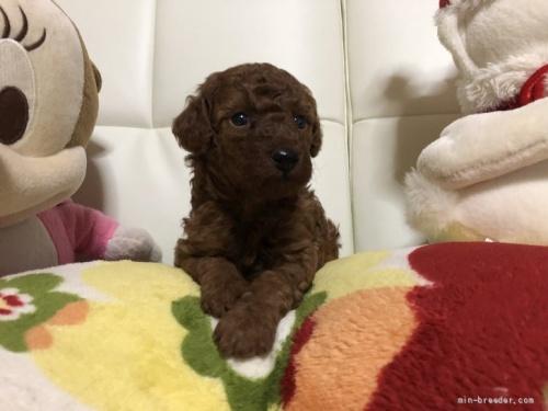 トイプードルの子犬(ID:1248111053)の3枚目の写真/更新日:2017-06-05