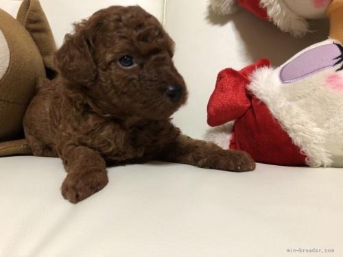 トイプードルの子犬(ID:1248111053)の4枚目の写真/更新日:2021-08-16