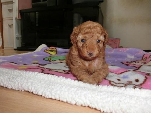 トイプードルの子犬(ID:1248111054)の1枚目の写真/更新日:2017-07-03