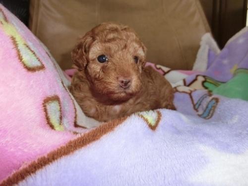 トイプードルの子犬(ID:1248111054)の2枚目の写真/更新日:2017-07-03