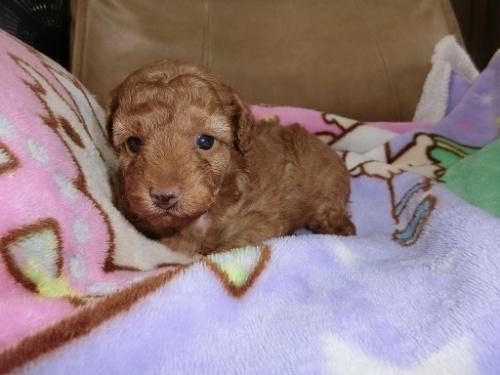 トイプードルの子犬(ID:1248111054)の3枚目の写真/更新日:2017-07-03