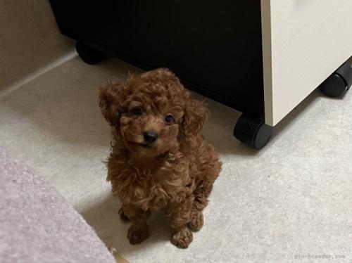 トイプードルの子犬(ID:1248111055)の2枚目の写真/更新日:2017-07-11