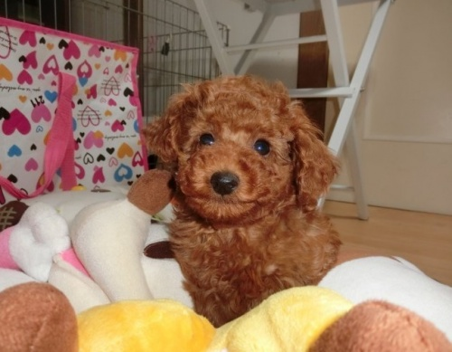 トイプードルの子犬(ID:1248111056)の1枚目の写真/更新日:2017-07-11