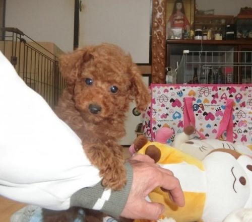 トイプードルの子犬(ID:1248111056)の2枚目の写真/更新日:2017-07-11