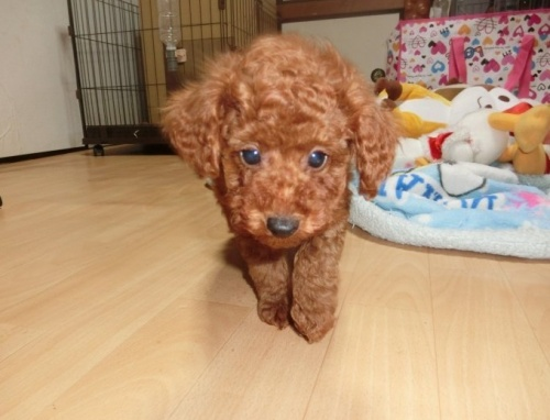 トイプードルの子犬(ID:1248111056)の3枚目の写真/更新日:2017-07-11