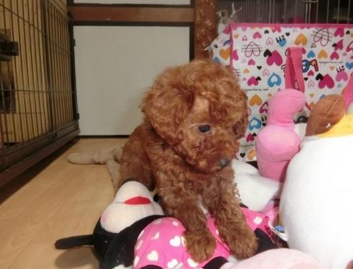 トイプードルの子犬(ID:1248111056)の4枚目の写真/更新日:2017-07-11