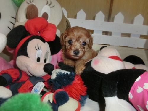 トイプードルの子犬(ID:1248111057)の1枚目の写真/更新日:2017-08-22