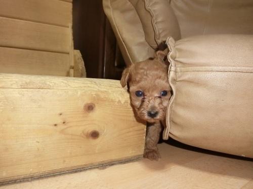 トイプードルの子犬(ID:1248111057)の3枚目の写真/更新日:2017-08-22