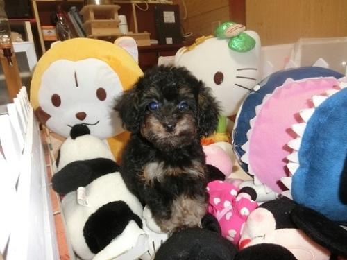 トイプードルの子犬(ID:1248111058)の1枚目の写真/更新日:2017-09-12