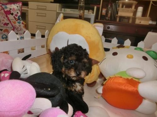 トイプードルの子犬(ID:1248111058)の3枚目の写真/更新日:2017-09-12