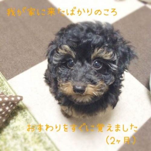 トイプードルの子犬(ID:1248111058)の5枚目の写真/更新日:2017-08-22