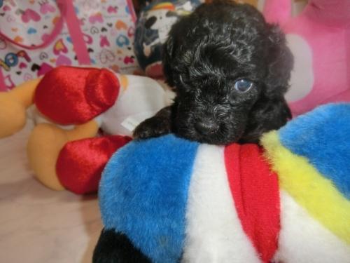 トイプードルの子犬(ID:1248111059)の3枚目の写真/更新日:2017-08-30