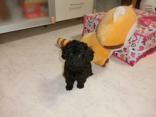 トイプードルの子犬(ID:1248111060)の1枚目の写真/更新日:2017-09-12