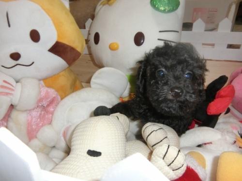 トイプードルの子犬(ID:1248111060)の2枚目の写真/更新日:2017-09-12
