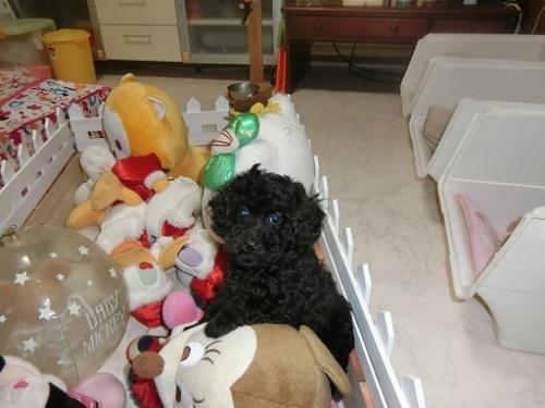 トイプードルの子犬(ID:1248111060)の4枚目の写真/更新日:2017-09-12