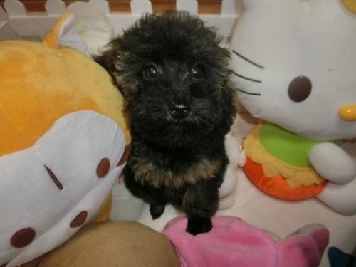 トイプードルの子犬(ID:1248111061)の1枚目の写真/更新日:2017-09-27